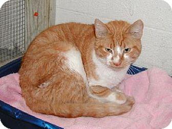 Domestic Shorthair Cat for adoption in Wetumpka, Alabama - #72294 'Pharaoh'