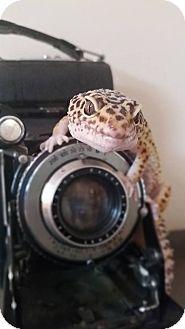 Gecko for adoption in Holbrook, Massachusetts - Harriet