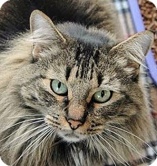 Domestic Longhair Cat for adoption in Red Bluff, California - Olive