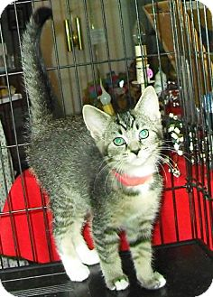 Domestic Mediumhair Kitten for adoption in Columbus, Ohio - California