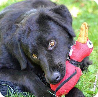 Labrador Retriever/English Setter Mix Dog for adoption in Sylva, North Carolina - Sam