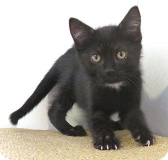 Domestic Shorthair Kitten for adoption in Carlisle, Pennsylvania - Gidgette