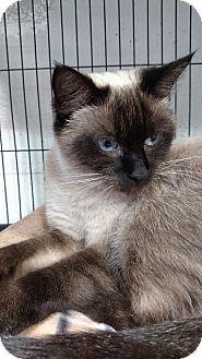 Siamese Cat for adoption in Yuba City, California - chloe