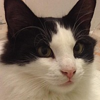 Domestic Longhair Cat for adoption in Montreal, Quebec - Misha-Boy