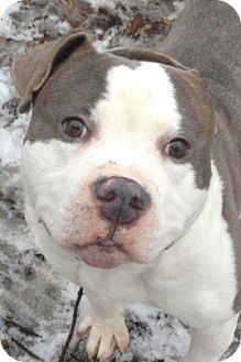 American Pit Bull Terrier Mix Dog for adoption in South Park, Pennsylvania - Phlip