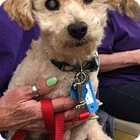 Adopt A Pet :: Scout - Sugar Grove, IL