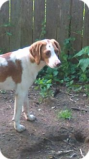Brittany Mix Dog for adoption in south plainfield, New Jersey - Betty