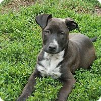 Adopt A Pet :: Mango - ST LOUIS, MO