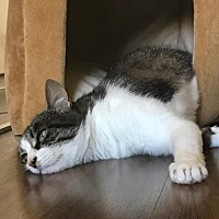 Domestic Shorthair Cat for adoption in HILLSBORO, Oregon - Offered by Owner OLIVE - Young Adult