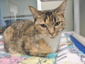 Domestic Shorthair/Domestic Shorthair Mix Cat for adoption in Chattanooga, Tennessee - Minsky