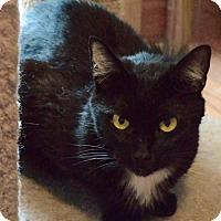 Domestic Shorthair Cat for adoption in Verona, Wisconsin - Reddi