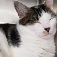 Adopt A Pet :: Satin - Wellsville, NY