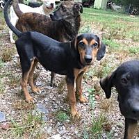 Adopt A Pet :: HAWKEN BARKLEY - Waldron, AR