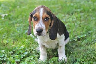 Beagle Mix Puppy for adoption in Portland, Maine - PUPPY BARNABY