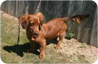 Dachshund Dog for adoption in Muldrow, Oklahoma - 784