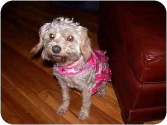 Cockapoo Mix Dog for adoption in San Pedro, California - Betty