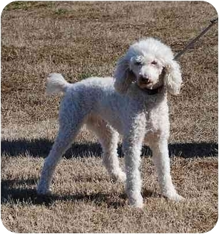 Poodle (Standard) Dog for adoption in Gallatin, Tennessee - DAYNE