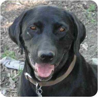 Labrador Retriever Dog for adoption in Columbus, Indiana - Holly