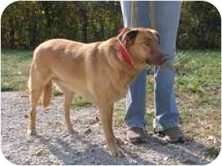 Retriever (Unknown Type)/Rhodesian Ridgeback Mix Dog for adoption in Lancaster, Kentucky - Miss Red