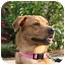 Photo 1 - Golden Retriever/Labrador Retriever Mix Dog for adoption in Norwich, Connecticut - Mani