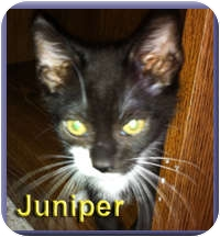 Domestic Shorthair Kitten for adoption in Aldie, Virginia - Juniper