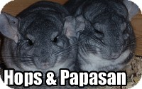 Chinchilla for adoption in Virginia Beach, Virginia - Papasan & Hops