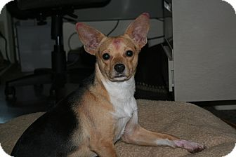 Chihuahua/Beagle Mix Dog for adoption in Quincy, California - Baxter