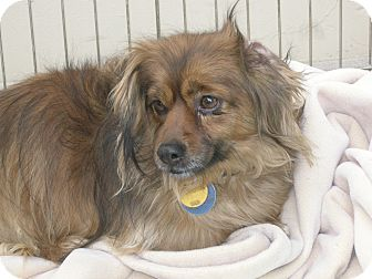 Dachshund Mix Dog for adoption in Las Vegas, Nevada - Cutie Pie