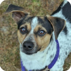 Jack Russell Terrier Mix Dog for adoption in Eatontown, New Jersey - Pops