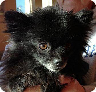 Pomeranian Dog for adoption in Fairview Heights, Illinois - Farrah