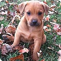 Adopt A Pet :: Apple - Chattanooga, TN