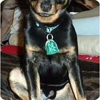 Adopt A Pet :: DeBo - Minneapolis, MN