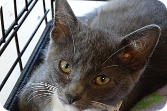 Domestic Shorthair Kitten for adoption in Elyria, Ohio - Moe