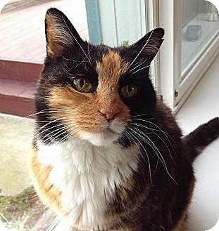 Calico Cat for adoption in Novato, California - Chiquita