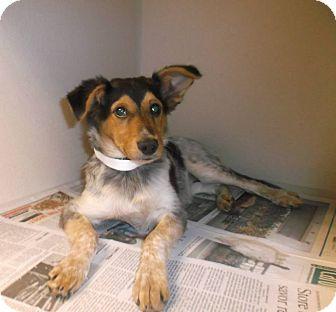 Blue Heeler/Collie Mix Puppy for adoption in Milton, New York - Wilma