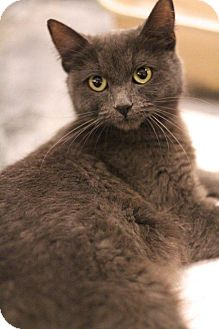 Hemingway/Polydactyl Cat for adoption in Sacramento, California - Audrey