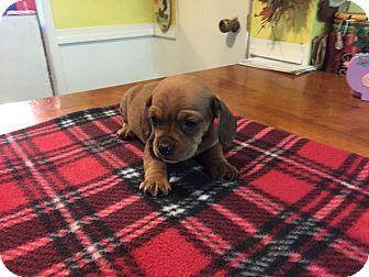 Dachshund/Basset Hound Mix Puppy for adoption in Glastonbury, Connecticut - Oliver