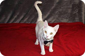 Domestic Shorthair Cat for adoption in Jackson, Mississippi - Casanova