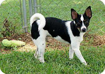 Rat Terrier Mix Dog for adoption in Murphysboro, Illinois - Magneto
