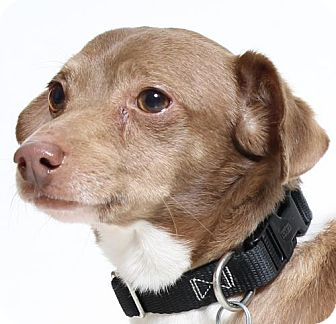 Dachshund Mix Dog for adoption in Truckee, California - Dudley