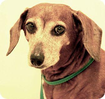 Dachshund Dog for adoption in Hardinsburg, Kentucky - KRISTI