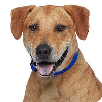 Labrador Retriever/Rhodesian Ridgeback Mix Dog for adoption in Los Angeles, California - Diesel