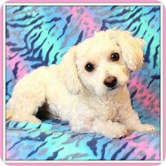 Maltese/Poodle (Miniature) Mix Dog for adoption in Glendale, Arizona - Fluffers