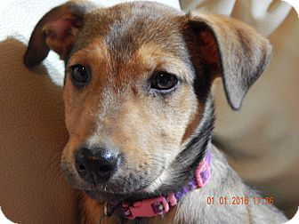 Shepherd (Unknown Type)/Black Mouth Cur Mix Puppy for adoption in Homewood, Alabama - Princess Leia
