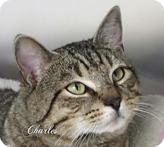 Domestic Shorthair Cat for adoption in Jackson, New Jersey - Charles