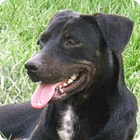 Labrador Retriever/Hound (Unknown Type) Mix Dog for adoption in Lake Charles, Louisiana - SueSue