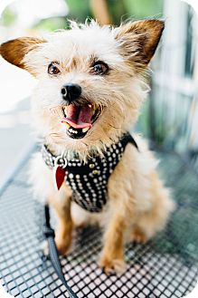 Cairn Terrier/Yorkie, Yorkshire Terrier Mix Dog for adoption in Los Angeles, California - Doris Devito weighs 7 lbs!
