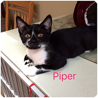 Domestic Shorthair Kitten for adoption in Hamilton, New Jersey - PIPER
