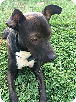 Labrador Retriever Mix Dog for adoption in Franklinville, New Jersey - Rosco