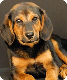 Shepherd (Unknown Type)/Hound (Unknown Type) Mix Dog for adoption in Newland, North Carolina - Olive